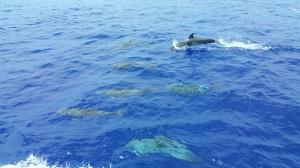 svi 2 tc dolphins