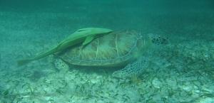 tc turtle remora